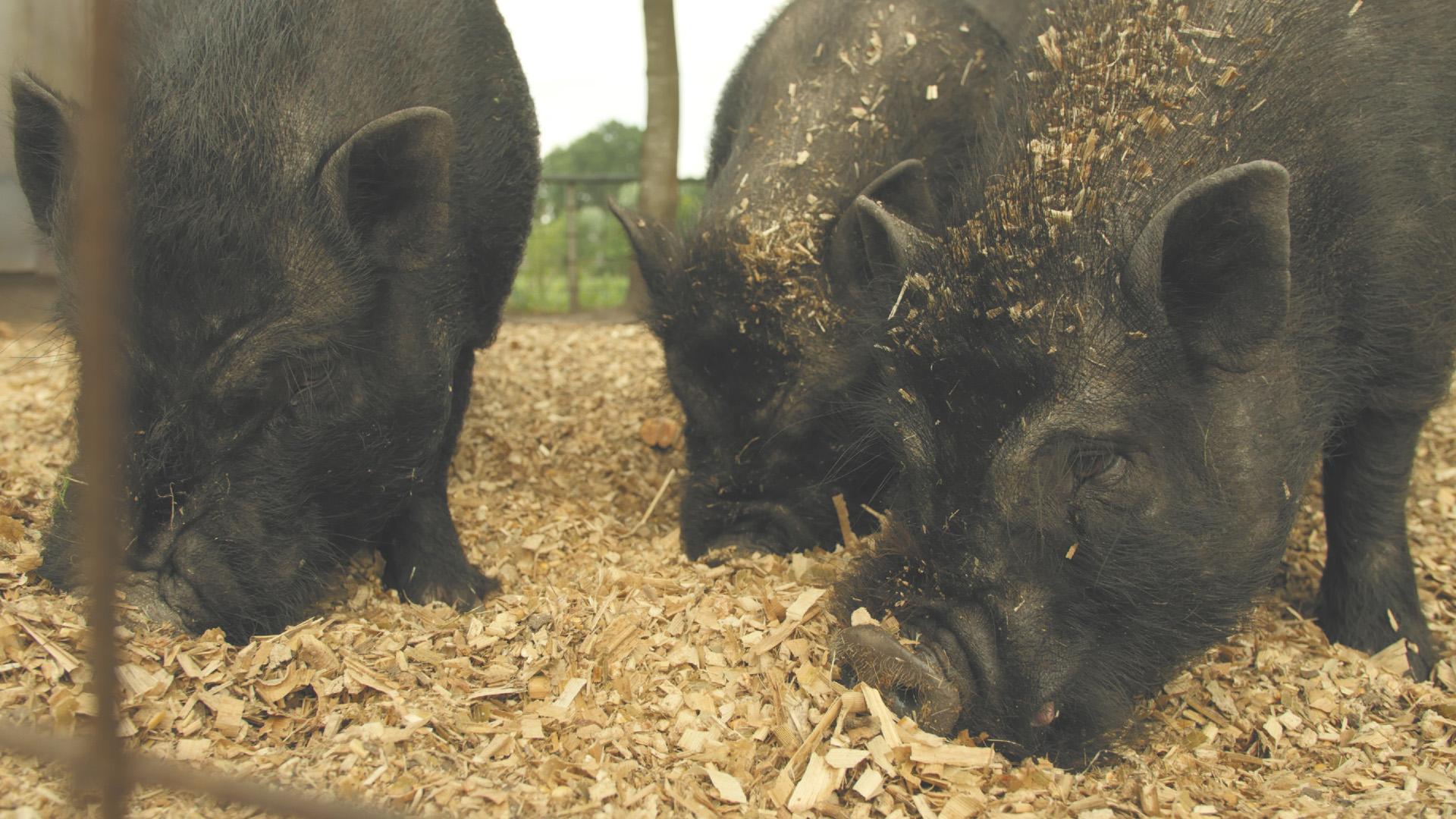 varkens camping de kroon