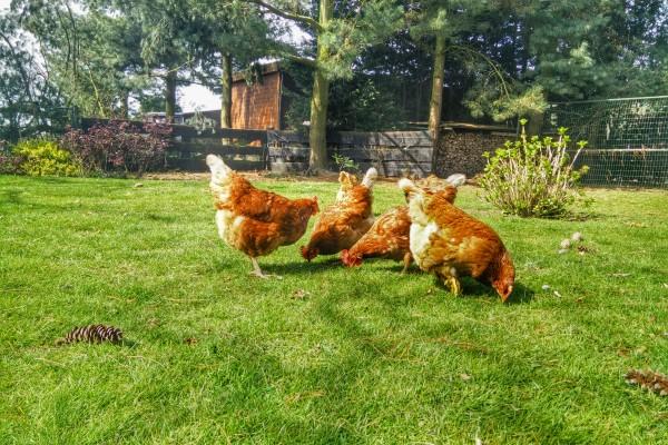 kippen camping kamperen boerderij minicamping oirschot spoordonk