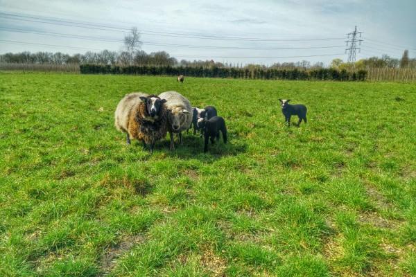 oirschot kamperen goedkoop schapen boer camping